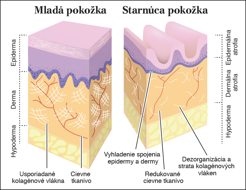 Structure of the normal and aging skin, and its contents of collagen